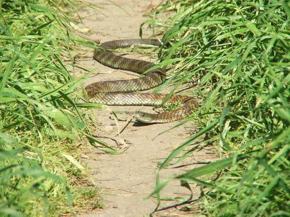 800px-eastern_tiger_snake