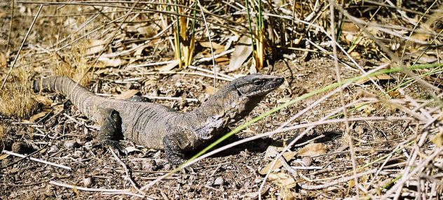 800px-goanna_south_australia